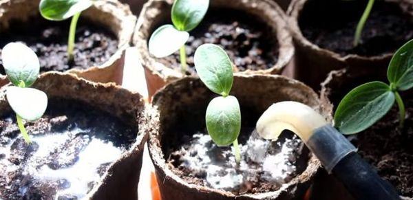 Молодую рассаду можно поливать только вокруг куста
