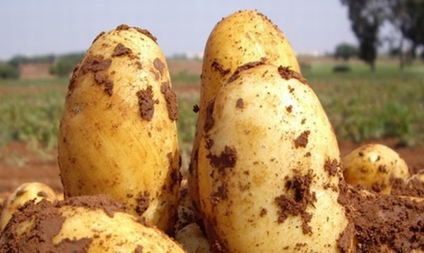Описание картофеля сорта Уладар