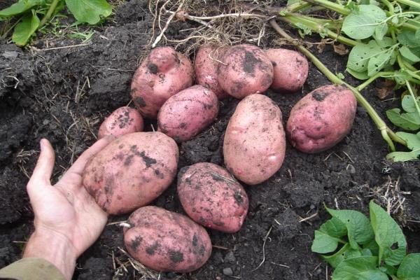 Картофель устойчив к фитофторозу, раку, парше, золотисто-цистообразуещий нематоде