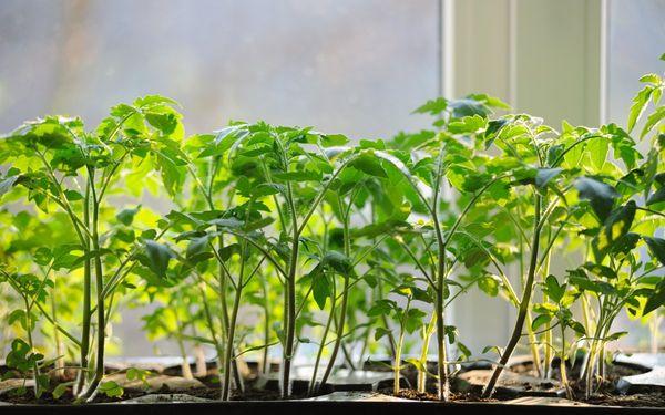 Рассаде на подоконнике необходимо достаточно солнечного света