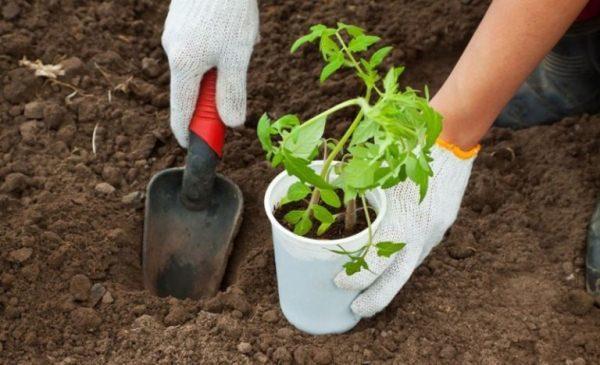 Высаживать подросшую рассаду Пинк Буш можно на 45-50 день