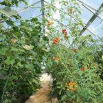 Совместная посадка огурцов и помидор