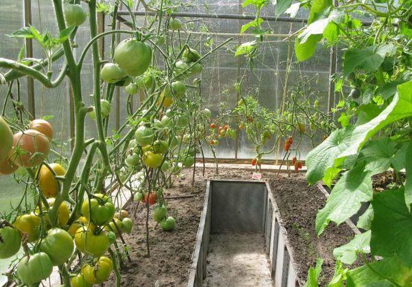 Посадка огурца с помидорами экономит место в теплице и воду для полива
