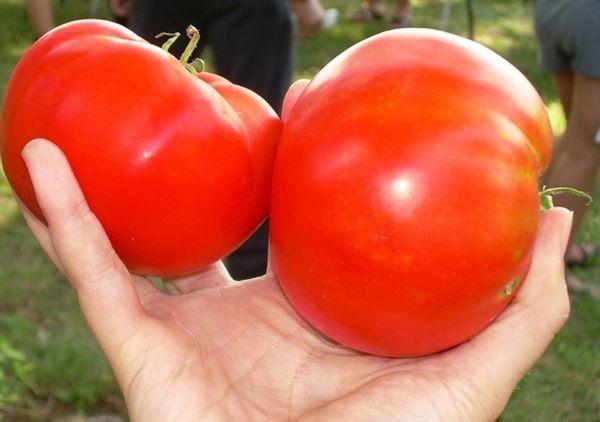 Сорт имеет крупные плоды, средний вес 200-400 грамм