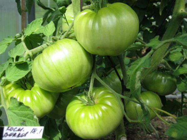 Большой размер плодов и высокий урожай - достоинства сорта Космонавт Волков