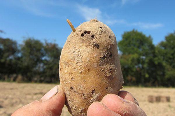 Вредители картофеля и борьба с ними