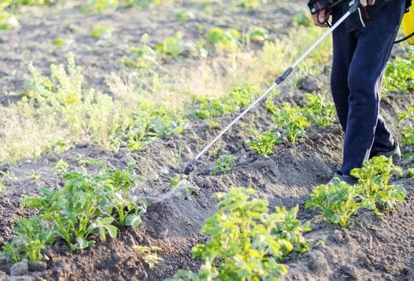 На больших участках посадок картофеля эффективно использовать опрыскивание