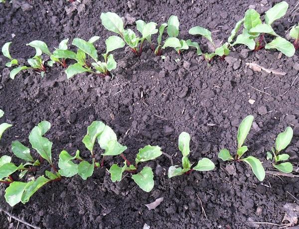 Выращивание и послепосадочный уход