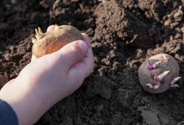 Высадку картофеля можно начинать при температуре около +8 градусов