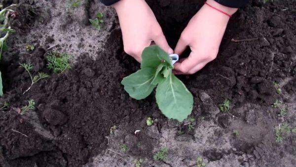 Основные аспекты посадки капусты в открытый грунт