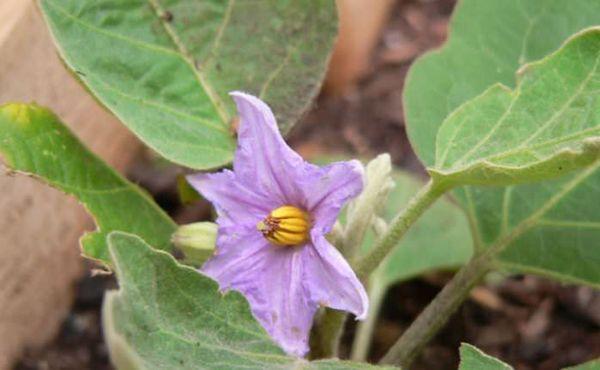 Баклажаны в теплице: выращивание и уход, формирование куста