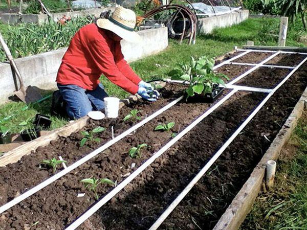 Огородники используют две схемы посадки - параллельную и шахматную