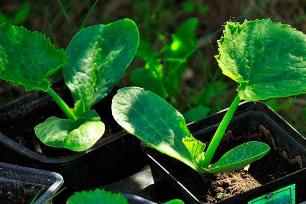 При рассадном способе выращивания кабачков семена на рассаду высевают в марте или феврале