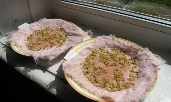 Замачивание семян томатов перед посадкой на рассаду