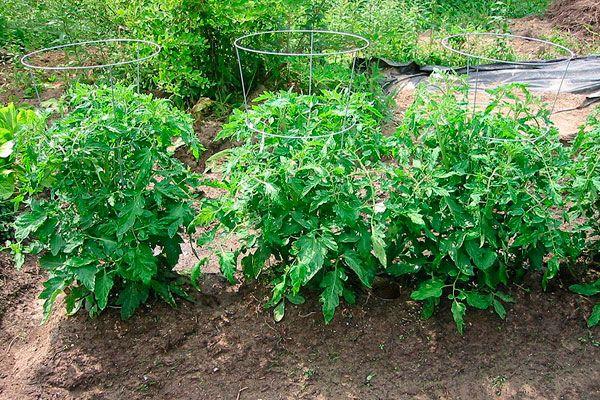 Высота кустов томата Взрыв - 40-60см