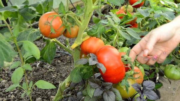 Взрыв обладает высокой урожайностью - 3-4 кг с куста
