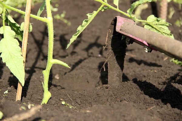 Полив необходимо проводить вместе с рыхлением верхнего слоя почвы