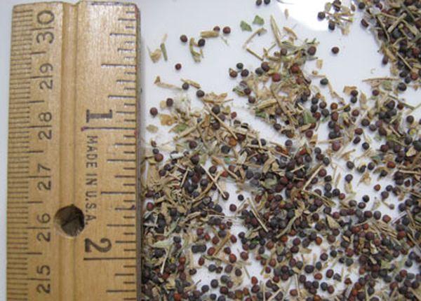 Семена японской капусты - очень мелкого размера