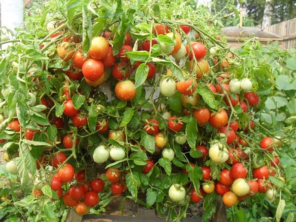 Преимущества томатов