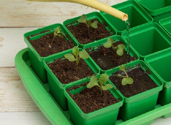Полив рассады капусты необходимо проводить 1-2 раза в день
