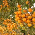 Описание и характеристики сорта вишня красная