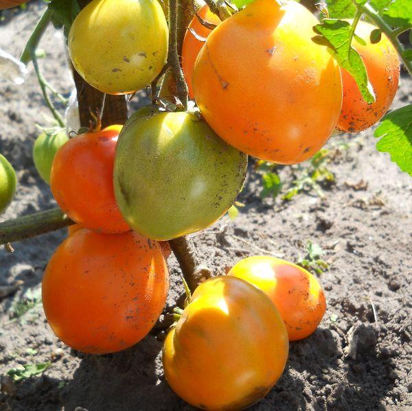Золотое сердце сохраняет свою плодовитость в течение всего летнего сезона