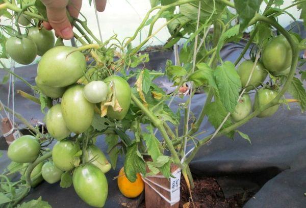 Сорт лучше плодоносит в слабокислой почве