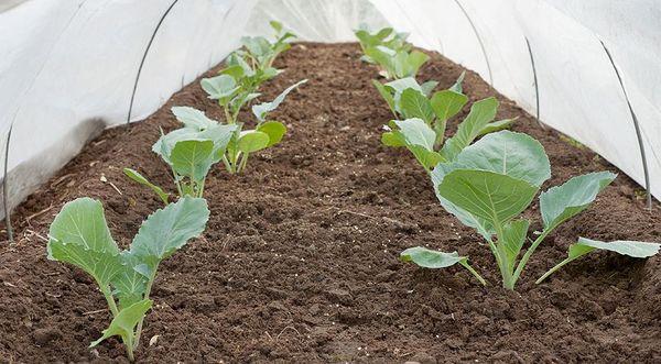 Ранние сорта можно высадить в грунт в конце апреля-начале мая