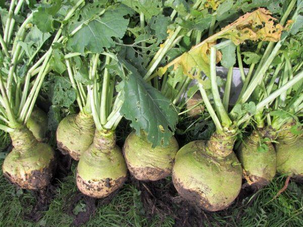 Сбор урожая брюквы