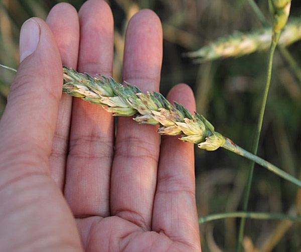 Колос пшеницы пораженный септориозом