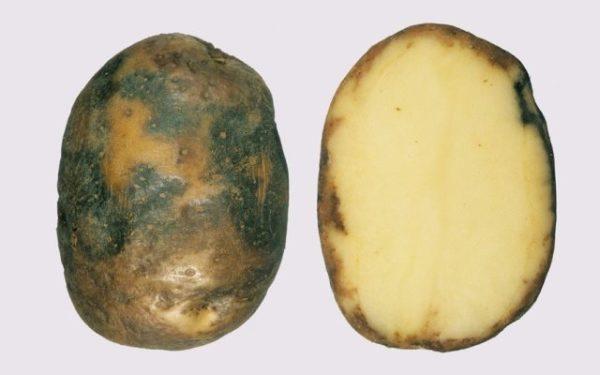 Больной клубень картошки фитофторой