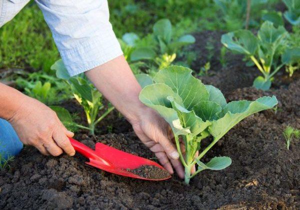 Уход за саженцами капусты
