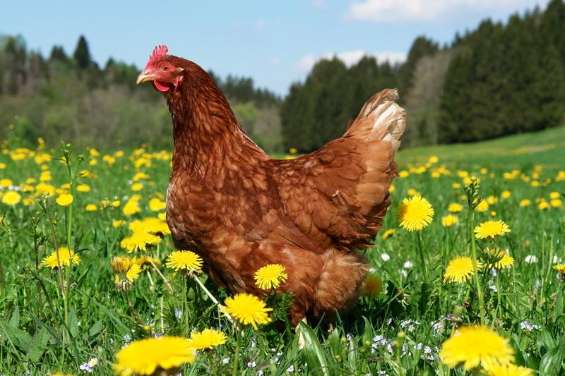 удобрение куриным пометом