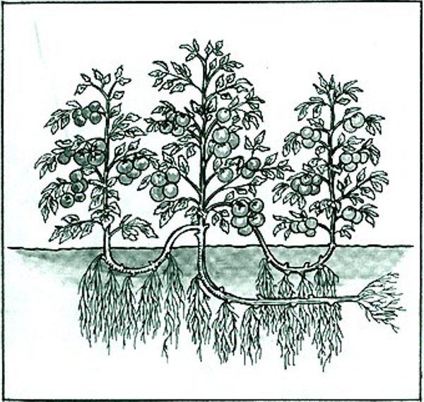 Схема выращивания томатов в 3 стебля по методу И.М. Маслова