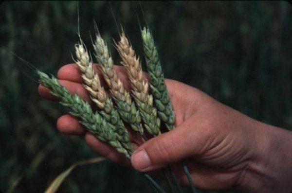 Признаки фузариоза пшеницы