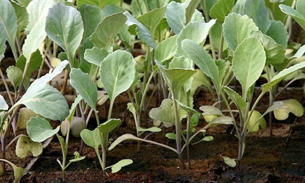 Вытянувшаяся рассада капусты в домашних условиях