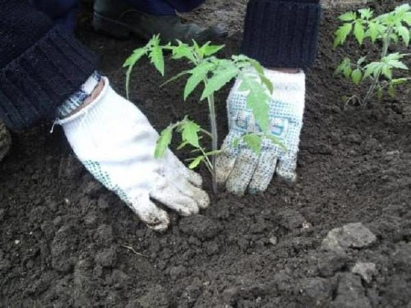 Томаты Медовая капля высаживают в грунт в соответствии со схемой 40х70 см