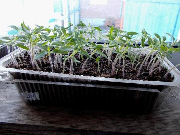 Рассада томатов выращивается в ящичках или горшочках при температуре + 25 градусов Цельсия