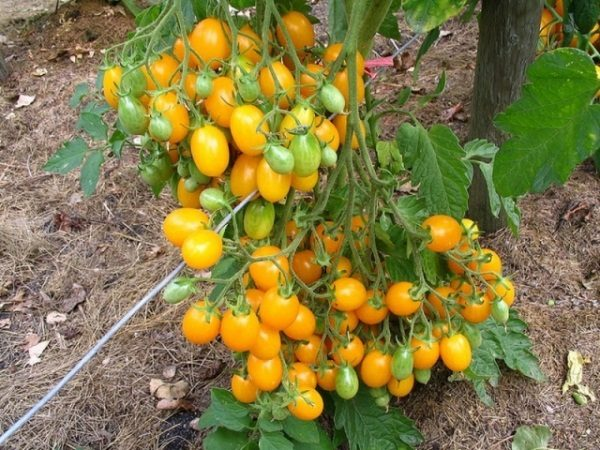 Желтоплодные томаты на шпалере
