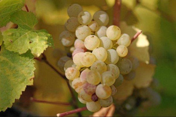 Мускатный виноград отличается особым вкусом