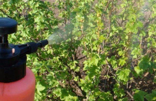 Опрыскивание кустов смородины от паутинного клеща