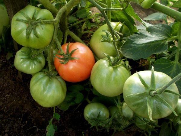 Для созревания плодов необходимо больше света, поэтому кусты рекомендуется время от времени прорежать, оставляя 2-4 стебля