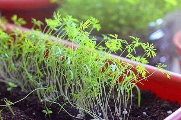 Выращивание рассады укропа в горшке