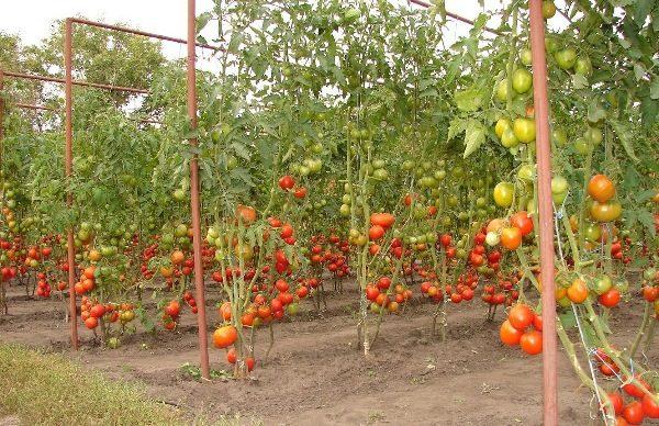 Шпалеры для помидор могут быть изготовлены из разных материалов: металла, дерева, ткани