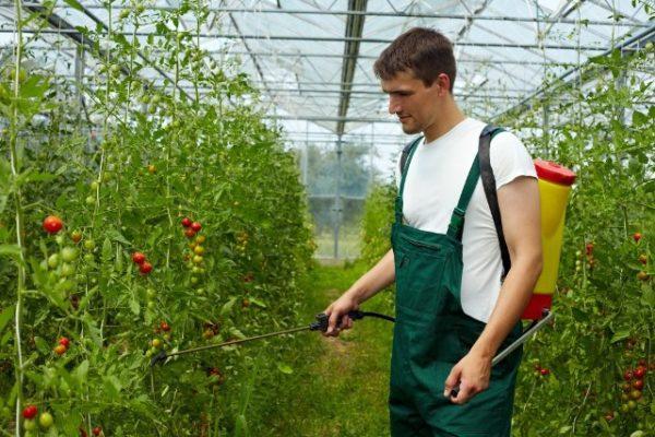Обработка помидор перепоратами