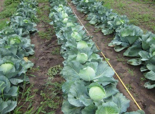 Выращивание капусты в Сибири
