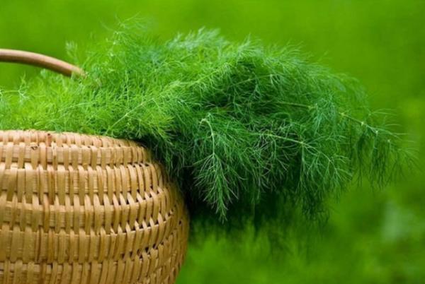 Собранный урожай укропа в корзинке