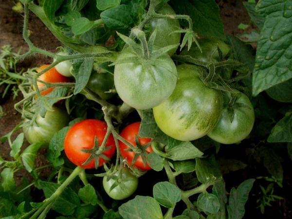 С одного куста томата Клуша можно получить до 3 кг помидор