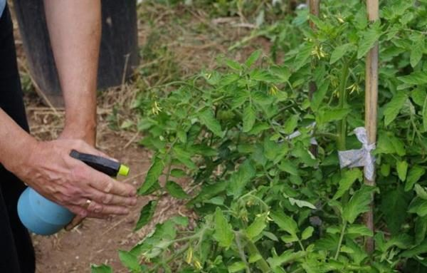 Медный купорос используют для уничтожения грибка и иных болезней у растений путем опрыскивания или помещения самого растения в раствор