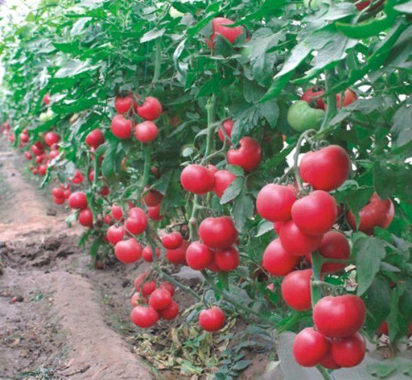Небольшой по размерам куст томата Малиновый звон способен приносить щедрый урожай